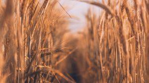 Wheat fields in the sunshine.